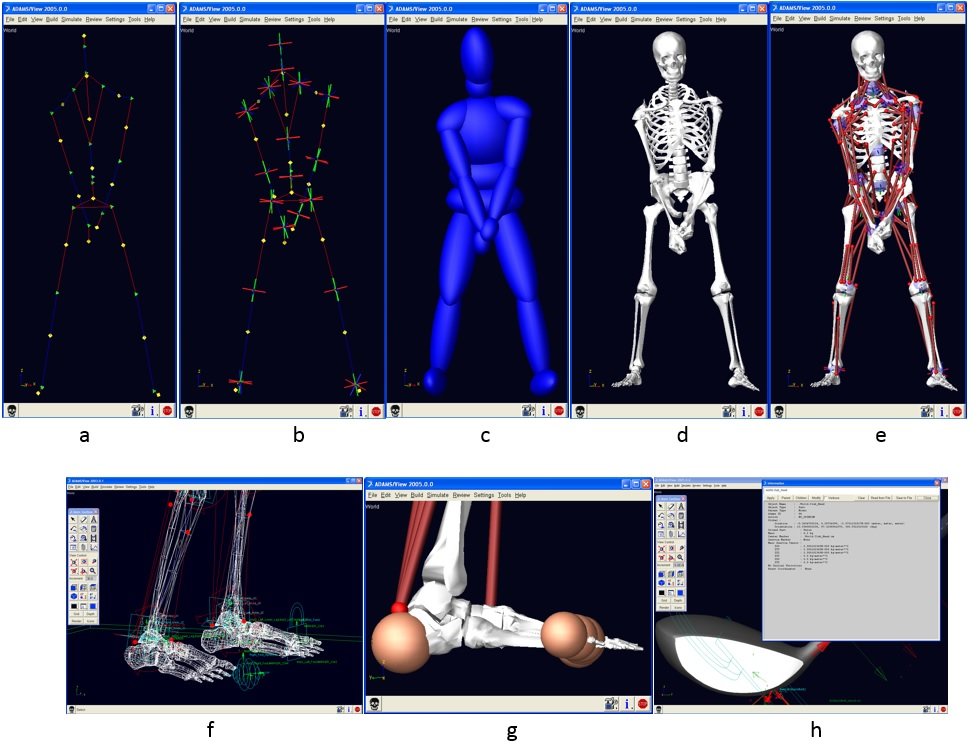 Figure 4. Golfer musculoskeletal computer model development