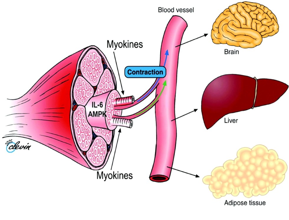 Muscle endocrine_BC Blog
