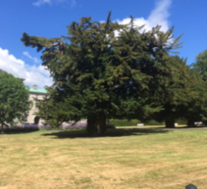 Ancient Yew Tree, St.Patrick's College, Maynooth, Co. Kildare - Tadhg MacIntyre